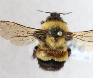 Rusty Patched Bumblebee_ForWeb
